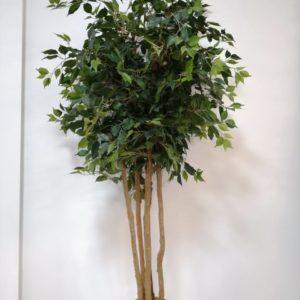 Arbusto ficus