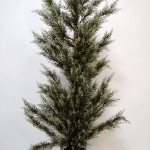 Planta Cyprss