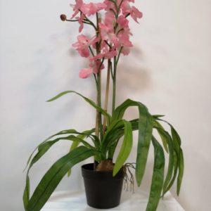 Planta orquideas Rosas