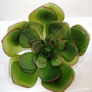 Succulent lotus